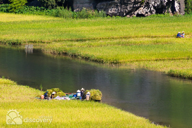 Beautiful Tam Coc in harvest time - Ninh Binh tours