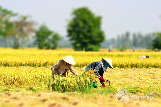 Harvest season in Northern Vietnam - Hanoi day tours